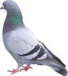 Pigeon - Faster than the internet?